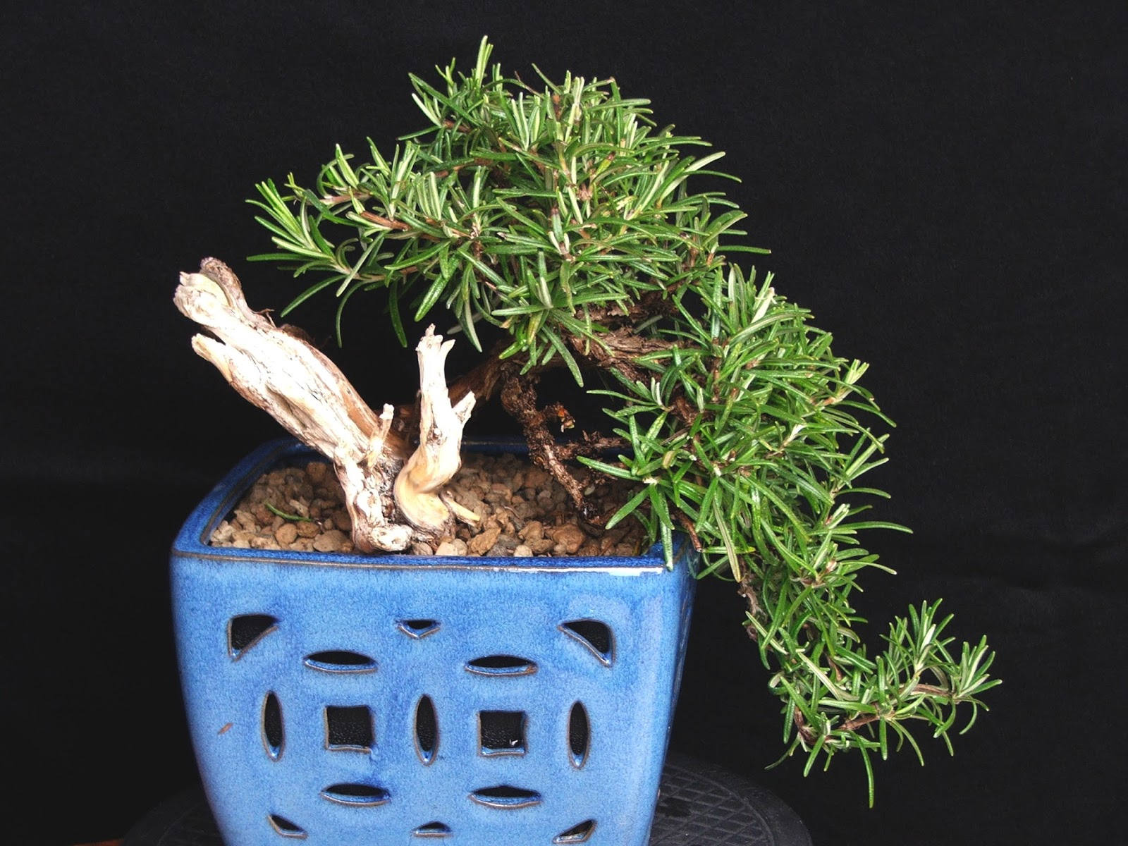 Bonsai Tree 23 Awesome Rosemary Bonsai Images