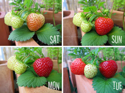 stawberries_ripen-over-4-days