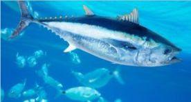 Ikan Laut Konsumsi - Ikan Tuna