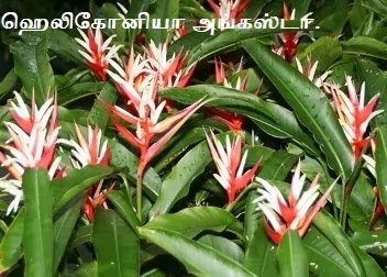 ஹெலிகோனியா அங்கஸ்டா - Heliconia angusta.
