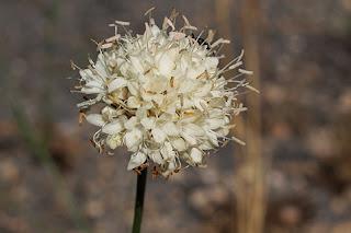 Flor de la escabiosa blanca (Cephalaria leucantha)