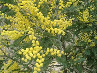 Silver Wattle, Mimosa, Acacia dealbata