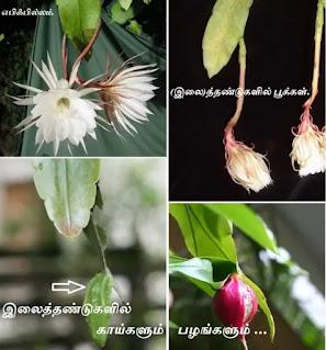 epiphyllum leaf flower
