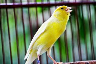 suara burung kenari, suara kenari, burung kenari