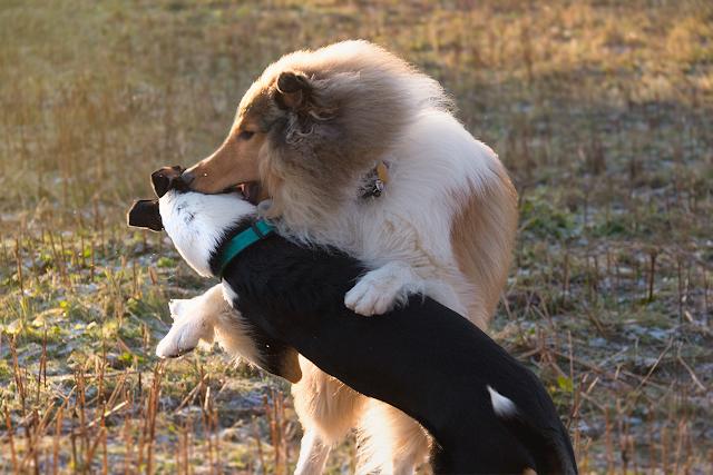 koiraleikki