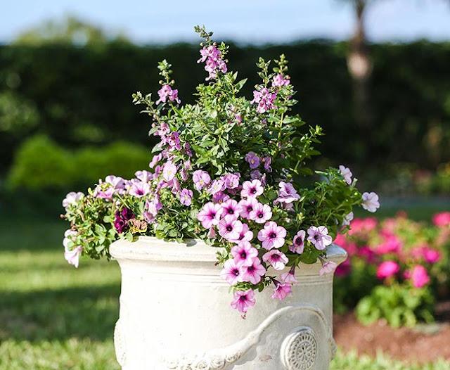 Container Garden Pink Petunia