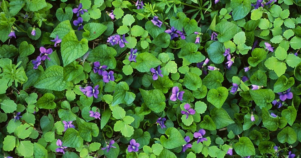 names of common household plants html with Virtuous Violets For Culinary And on Keep Pets Safe From Household Hazards in addition Dieffenbachia Pictures 37 likewise mon House Plants additionally Plants as well Virtuous Violets For Culinary And.