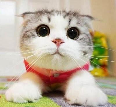Thú cưng đầu tiên nhiễm nCov-19 là 1 chú mèo tại Mỹ