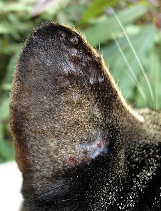 Picture of bumps and scabs on a cat's ear caused by an allergic reaction