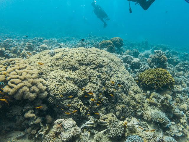 Coral ondulado en el Japanese Garden, Aqaba, mar Rojo, Jordania