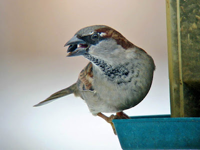 Photo of House Sparrow on feeder with sunflower seed