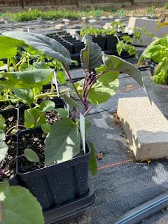 Purple of Sicily Cauliflower Seedling