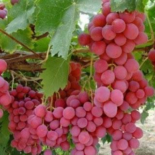 bibit-buah-anggur-merah.jpg