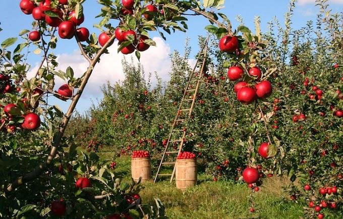 जापानी फल आज इस रहस्यमय फल का पता लगाते हैं।