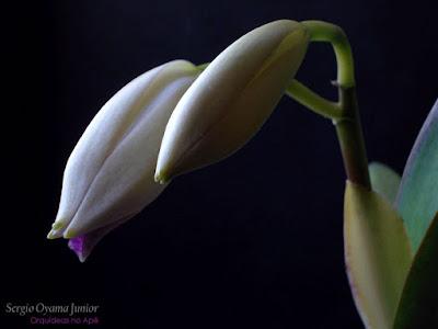 Botões florais da orquídea Cattleya labiata