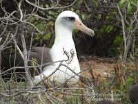 Laysan albatross on nest, Kaena Point - © Denise Motard