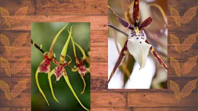 Spider Orchid-Brassia