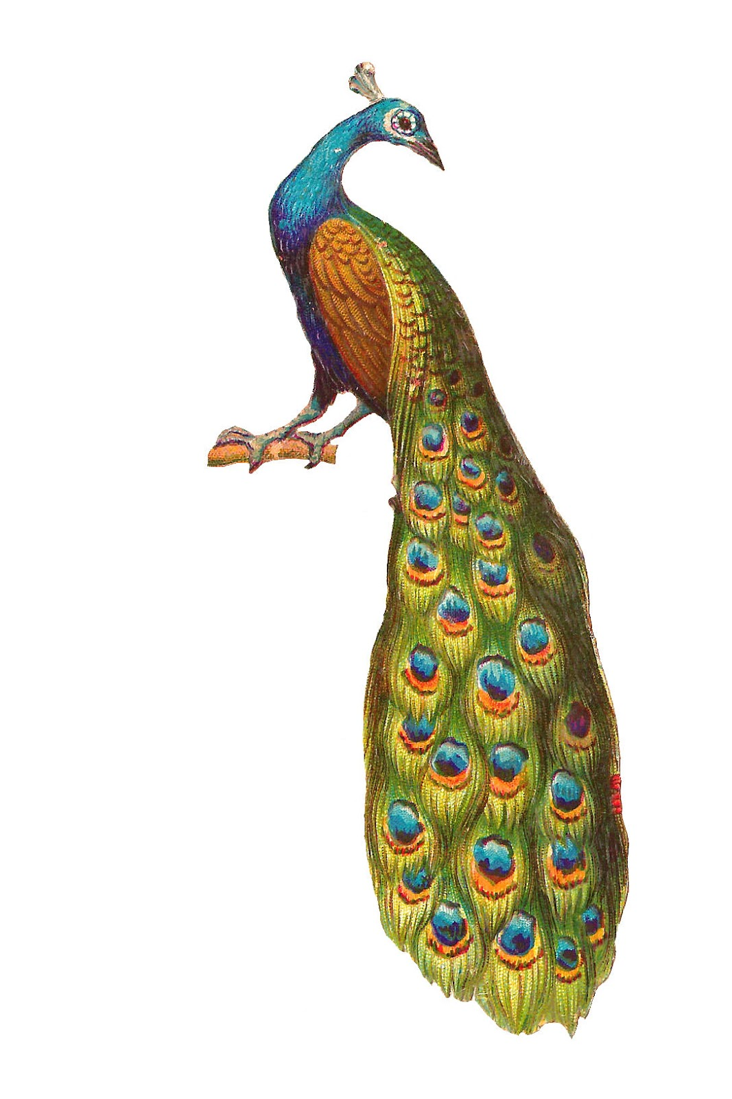 clipart pictures peacock - photo #12