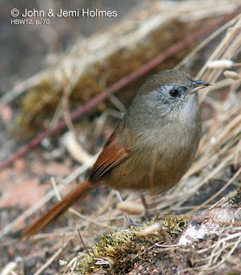 Rufous-tailed Babbler