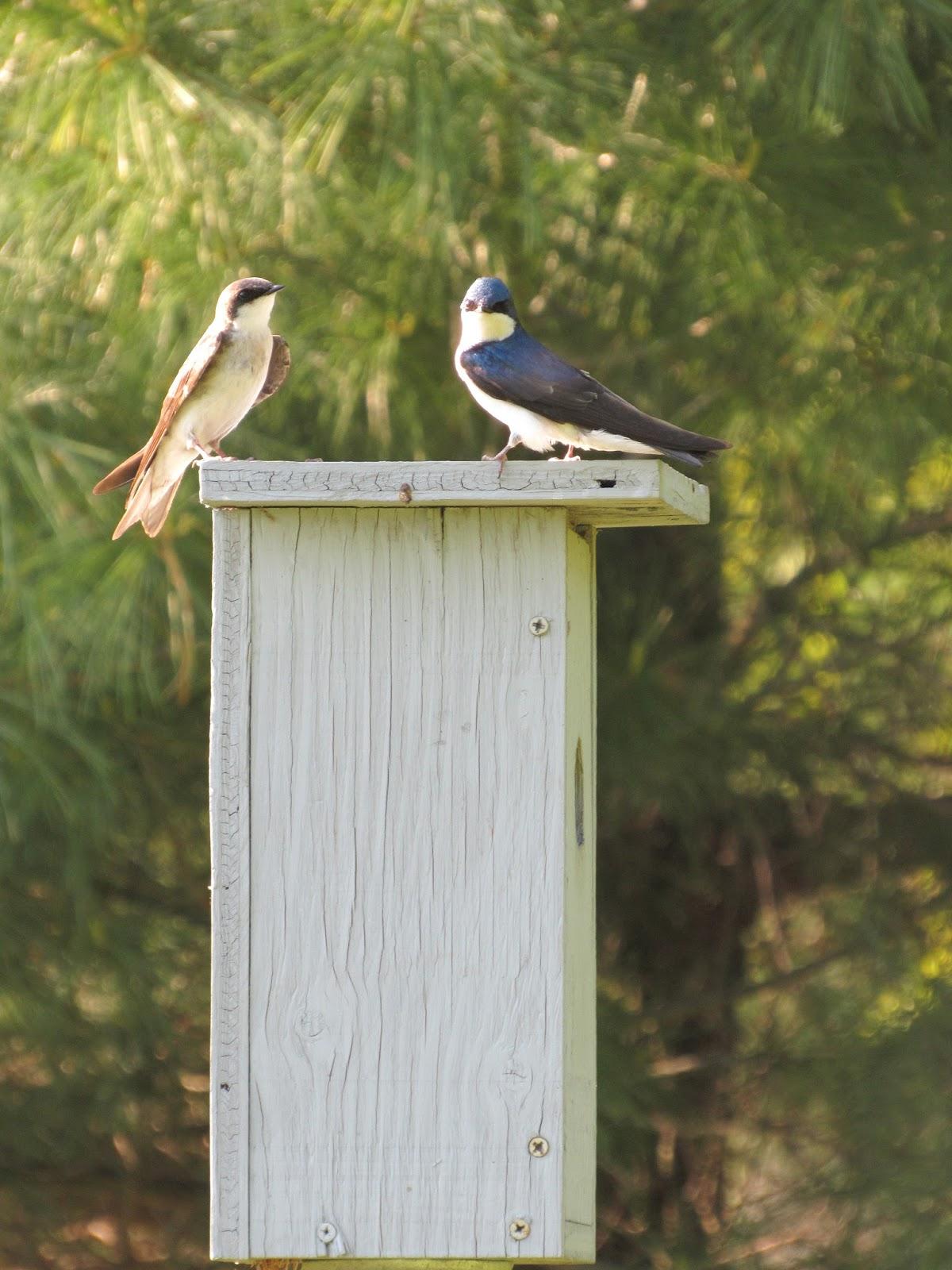 Tree Swallow Bird Houses 95