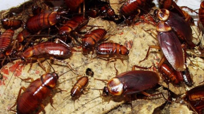 10 Organisme atau Makhluk Hidup yang Mampu Bertahan Hidup Di Tengah Kondisi Esktrem, Kecoa, Lipas, cockroach