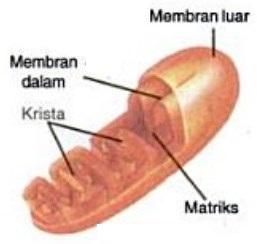 Pengertian mitokondria dan fungsinya