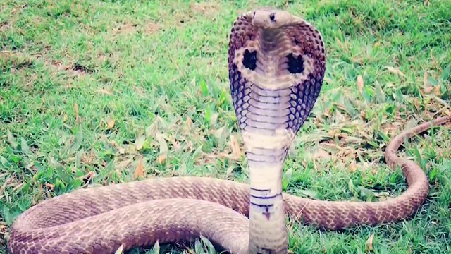 10 MOST VENOMOUS SNAKES ON EARTH 3. King Cobra, most venomous snake, most poisonous snake, top ten venomous snake, top ten poisonous snake