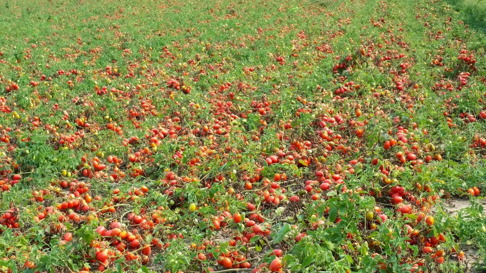 tomato field hd  images க்கான பட முடிவு