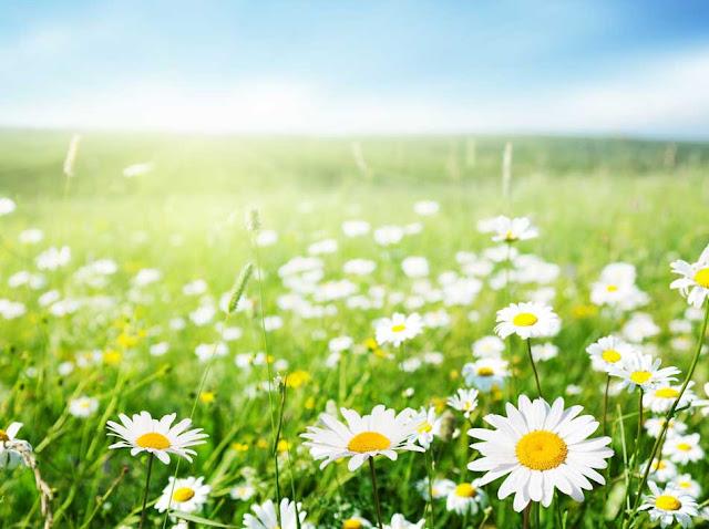 campo_de_margaritas_en_primavera