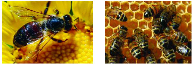 Koloni Lebah