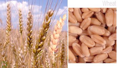 Wheat,গম
