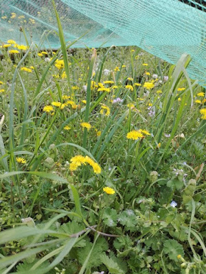 Aprile nell'orto di Elle e Alli: cipolle e erbe spontanee