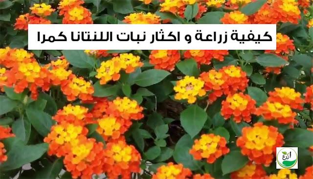 كيفية زراعة و اكثار  نبات اللنتانا كمرا lantana camara
