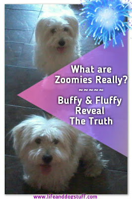 What are Zoomies Really? - Buffy and Fluffy Reveal the Truth.