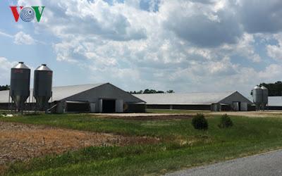Trang trại nuôi gà tại Mỹ.