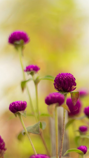 Beautiful Flower iPhone 6 Wallpapers Download Free