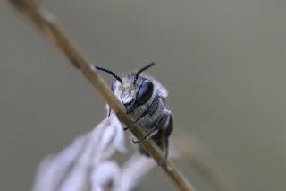 petite abeille solitaire noire