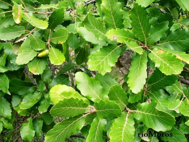 Hojas de QUEJIGO ANDALUZ: Quercus canariensis