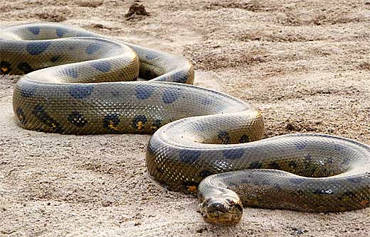 Anaconda Jenis Ular Terbesar
