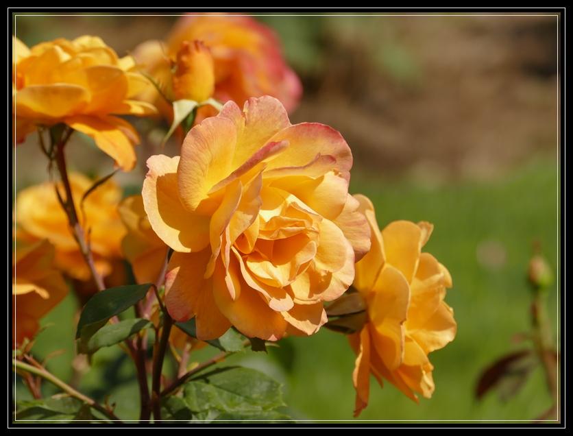 Central Park Rose Garden