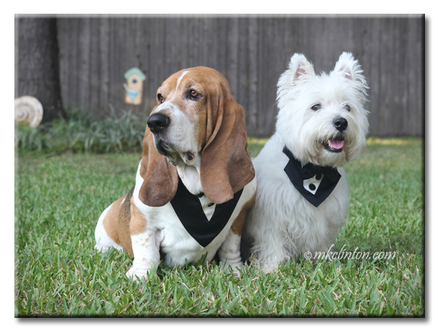 Bentley Basset Hound and Pierre Westie are looking very debonaire for their Le Bol dining experience