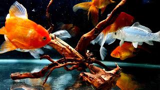 eautiful Goldfish Community Tank HD Wallpaper