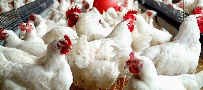 Murgi farm business kaise khole, Desi hen poultry in Hindi - Full Information