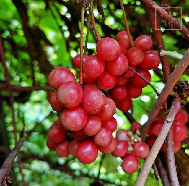Azjatyckie pnącza owocowe, cytryniec chiński (Schisandra sinensis), akebia pięciolistna (Akebia qinata), aktinidia ostrolistna (Actinidia arguta). ciekawe rośliny użytkowe z Azji, Chin, jak uprawiać, jak wyglądają owoce i kwiaty, opis, uprawa, smak.