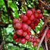 3 azjatyckie pnącza owocowe do ogródka!