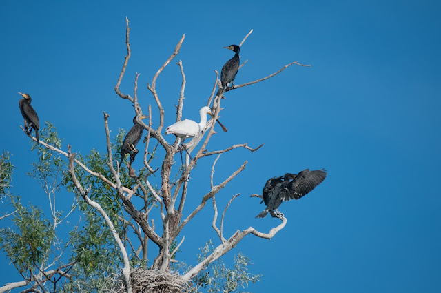 Ia uite-i: cormoranii si lopatarul, Colonia Trofilca