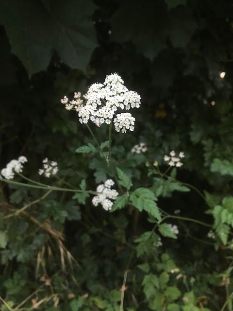 gracieux et adorable torilis japonica