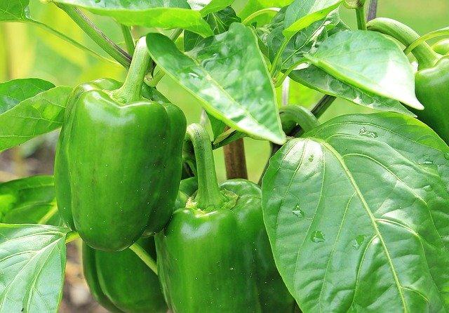 best way to germinate pepper seeds