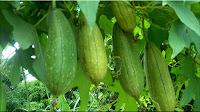 gambar buah belustru, loofah