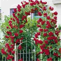 As roseiras florescem o ano todo, principalmente na Primavera e Verão. As rosas possuem mais de 100 espécies, e milhares de variedades, as roseiras podem ser híbridos ou cultivares, arbustos ou trepadeiras. As folhas são simples, partidas em 5 ou 7 lóbulos de bordas denteadas.